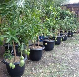 tips mudah merawat tanaman buah  pot