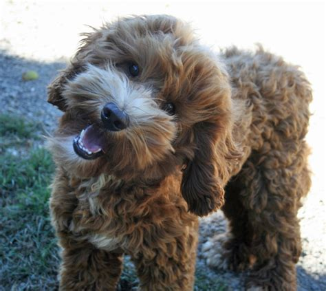 how much are labradoodle puppies black hypoallergenic labradoodle puppies for sale in portland