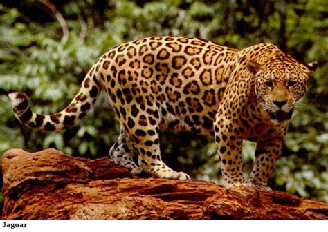 jaguar leopard cheetah differences tigers and other