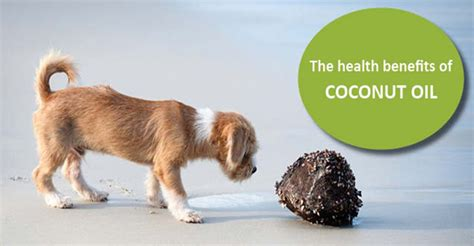 is coconut safe for dogs the health benefits of coconut for dogs