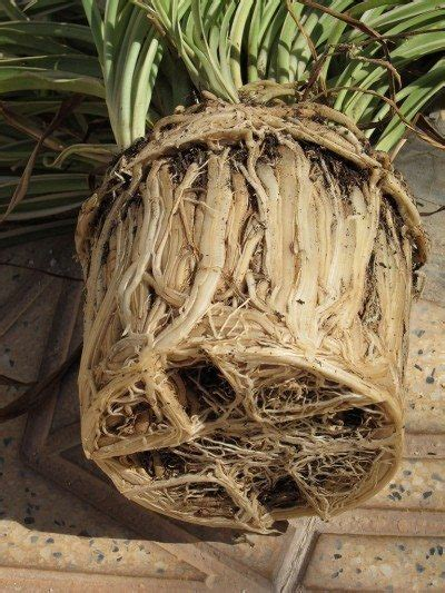 Jig006 To Survive Nature Yellow root bound symptoms help for root bound plants