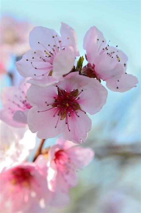 immagini di fiori colorati fiori di pesco primavera colorato 183 foto gratis su pixabay
