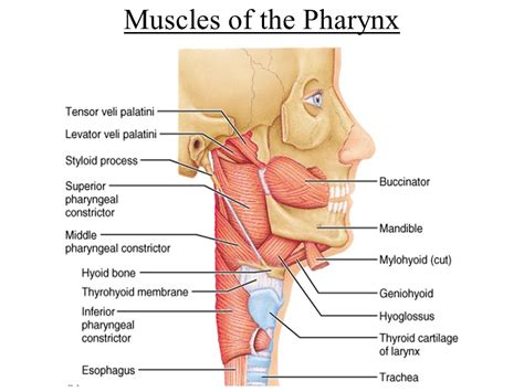 3 sections of the pharynx 3 sections of the pharynx 28 images pharynx cancer