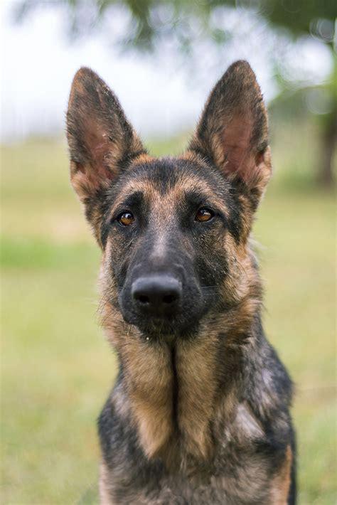 basha austin german shepherd dog rescue