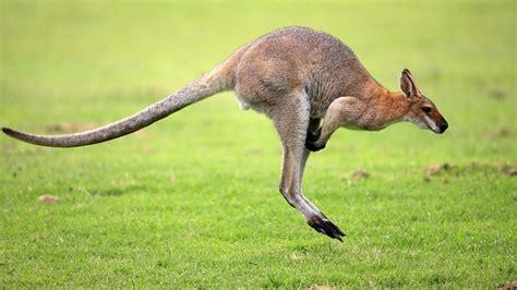 imagenes animales que saltan los animales que m 225 s saltan