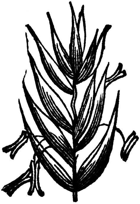 Perennial Rye Grass | ClipArt ETC
