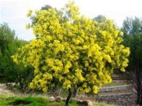la mimosa fiorita potatura mimosa potatura