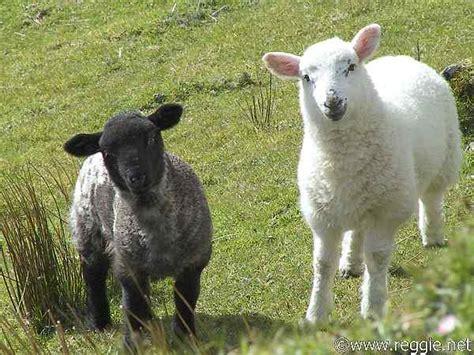 black sheep this or that sheep