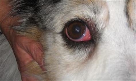 dogs is swollen third eyelid of s right eye is swollen