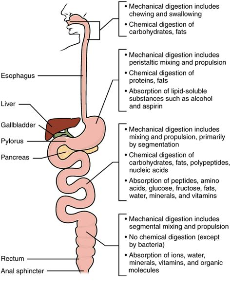 protein digestion begins in the anatomy physiology chemical digestion and absorption a