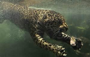Jaguar Food Jaguar Swims Towards His Food That Was Dropped In Water