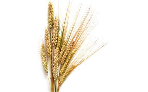 wheat green 6941794 clip art library