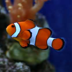 カクレクマノミ 寿命 病気 熱帯魚図鑑 飼育 混泳 繁殖 病気など