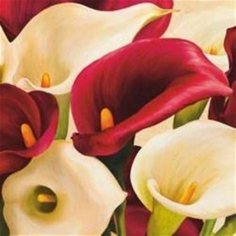 calla in vaso calla coltivazione fiori in giardino coltivazione