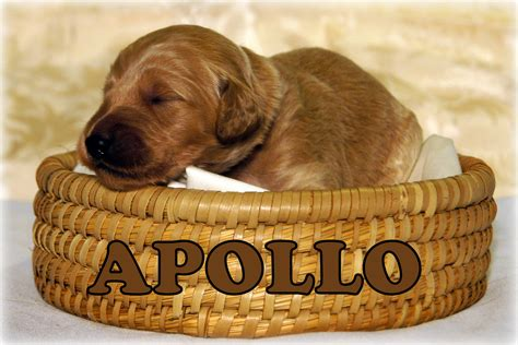 f1 goldendoodle puppies for sale in nc goldendoodle puppies for sale in carolina