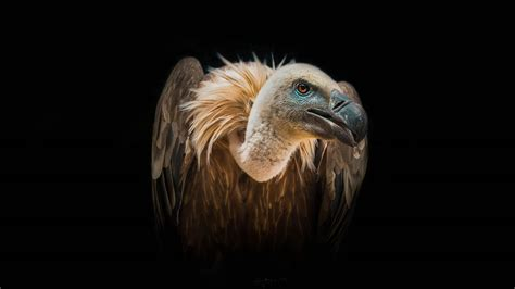 bird vulture wild african birds feeding  extinct