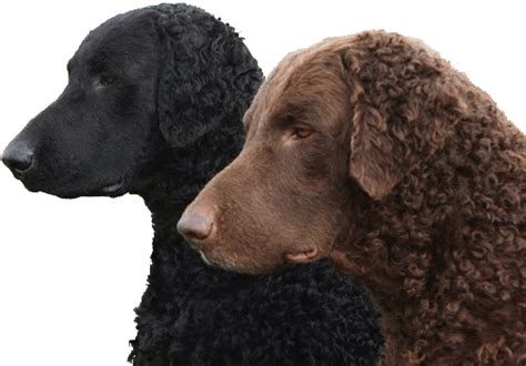Curly-Coated Retriever Doh Picture - Doglers