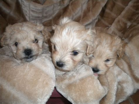 maltipoo puppies stunning apricot maltipoo puppies for sale doncaster south pets4homes