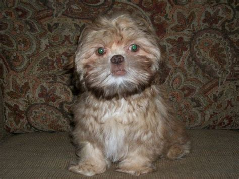 shih tzu sulit http www sulit ph index php view classifieds id 4643151 shih tzu