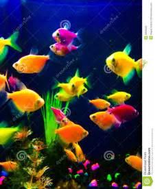 neon colored fish neon colorful fish aquarium stock photo image 50600222