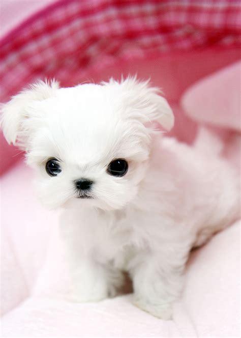 white maltese puppies adorable teacup maltese puppy this tiny teacup maltese pup flickr