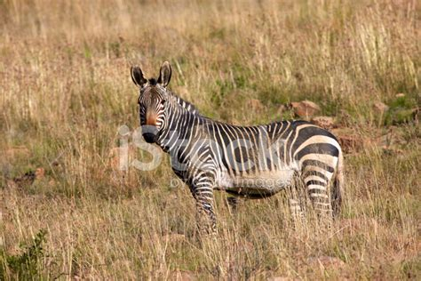 zebra pattern in camera zebra looking at camera stock photos freeimages com