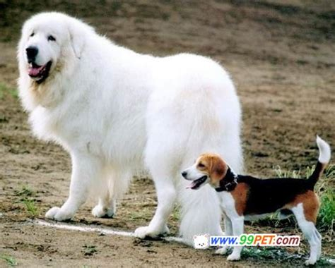 big white breeds big large white breed breeds picture