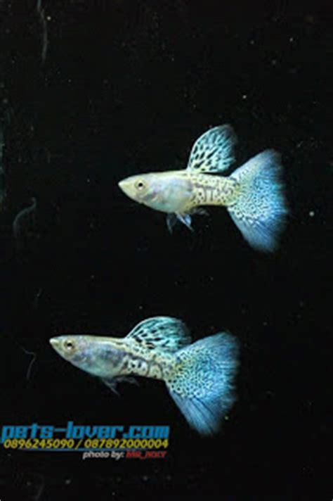 Jual Sho Metal Palembang guppy metal snake skin blue grass sale guppy fish indonesia