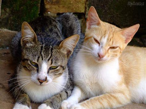 imagenes goticas de gatos la copulaci 243 n del gato taringa