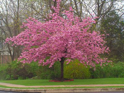 cherry tree pictures kwanzan cherry tree prunus serrulata for sale brighter blooms nursery