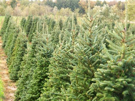 christmas tree farm colorado