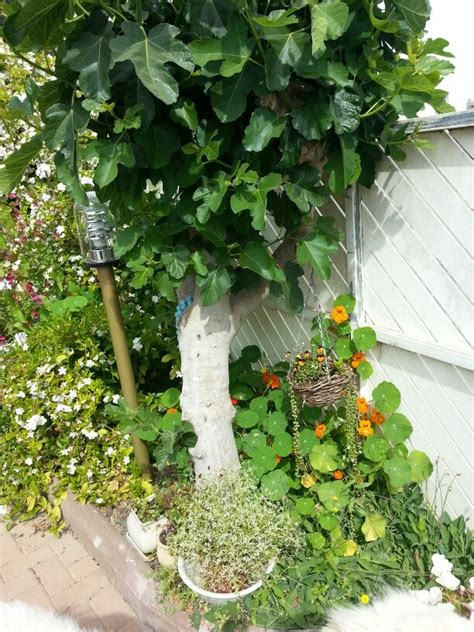 fig tree garden and outdoors pinterest fig tree and