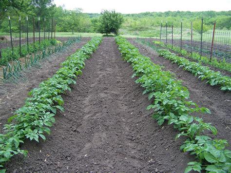 Gardening Potatoes Hickery Holler Farm The Many Ways To Grow A Potato