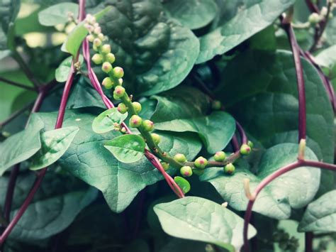 houseplant vine red malabar spinach vine spinach survival gardener