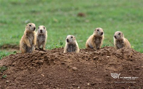 prairie dogs prairie wallpaper images the humane society of the united states