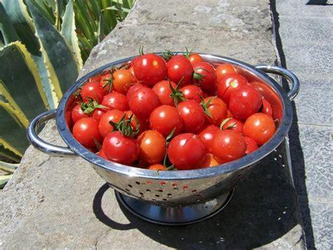 Tomaten Aus Samen Selber Ziehen 5495 by Tomaten Samen Selber Quot Ziehen Quot Das Portugalforum