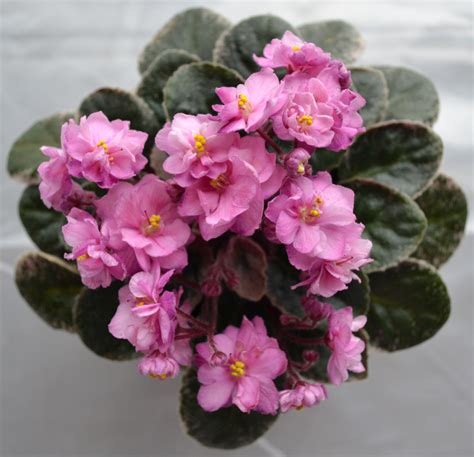 Miniature Plants For Sale by Robs Soliloquy Semi Mini African Violet Plant Baby