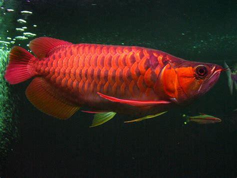 Anakan Ikan Arwana Kalimantan my arowana arwana merah ikan asli kalimantan barat
