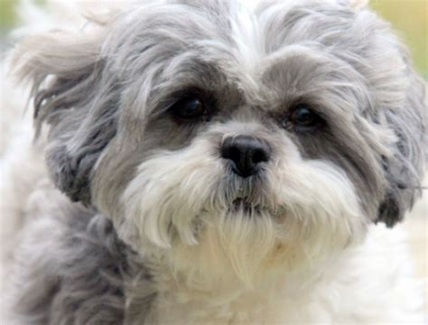 shih tzu pupies puppy dogs shih tzu puppies