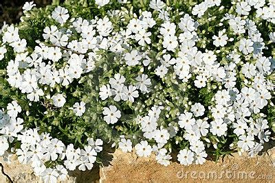 phlox white ground cover how does your garden grow