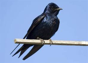 interesting facts about purple martins that will make you