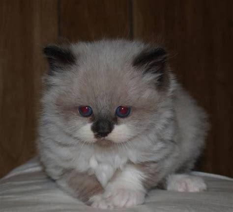 ragdoll kittens for adoption tica reg ragdoll kittens for sale adoption from sacramento