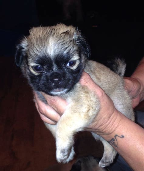 pug x maltese for sale malti pug maltese x pug puppies for sale brierley hill west midlands pets4homes