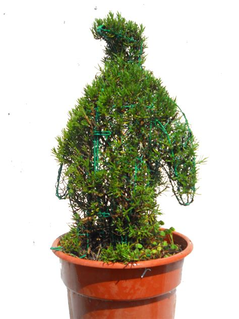 penguin 17 quot h rosemary topiary