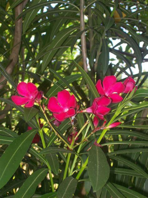 Oleander Im Garten Pflanzen 4461 by Samen Oleander Nerium Oleander