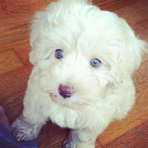 poodle havanese havapoo puppy half havanese half poodle animals puppys and poodles