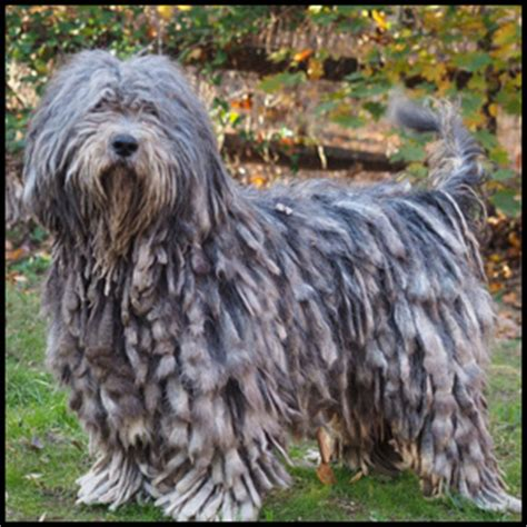 bergamasco puppies silver pastori bergamascos bergamasco sheepdog breeder puppies and litters