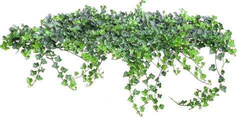 imagenes png vegetacion enredaderas ivy para decorar muros y paredes