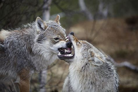 wolf s dominance behavior in canids koryos writes