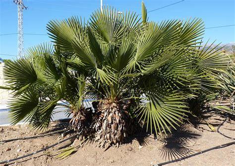 european mediterranean fan palm european fan palm nature